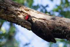 希洛大农场地方加利福尼亚啄木鸟 库存图片