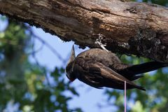 希洛大农场地方加利福尼亚啄木鸟 图库摄影
