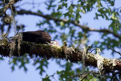 希洛大农场地方加利福尼亚啄木鸟 免版税库存照片