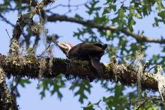 希洛大农场地方加利福尼亚啄木鸟 免版税图库摄影