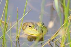 希洛大农场地方加利福尼亚牛蛙 公园包括橡木森林地,混杂的常青树森林, 库存图片