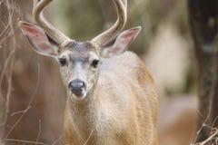 希洛大农场地方加利福尼亚鹿 公园包括橡木森林地,混杂的常青树森林  免版税库存图片