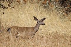希洛大农场地方加利福尼亚鹿 公园包括橡木森林地,混杂的常青树森林  免版税图库摄影