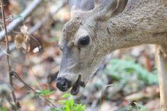 希洛大农场地方加利福尼亚鹿 公园包括橡木森林地,混杂的常青树森林  库存图片