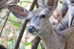 希洛大农场地方加利福尼亚鹿 公园包括橡木森林地,混杂的常青树森林  免版税库存照片