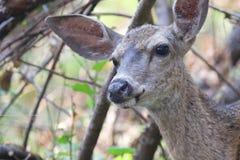 希洛大农场地方加利福尼亚鹿 公园包括橡木森林地,混杂的常青树森林  库存照片