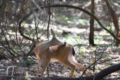 希洛大农场地方加利福尼亚鹿 免版税库存图片