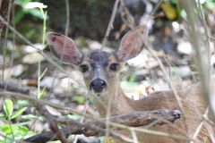 希洛大农场地方加利福尼亚鹿 免版税图库摄影