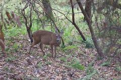 希洛大农场地方加利福尼亚-鹿 公园包括橡木森林地,混杂的常青树森林  免版税库存图片