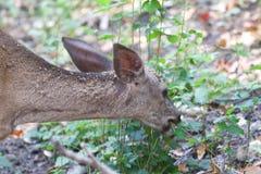 希洛大农场地方加利福尼亚-鹿 公园包括橡木森林地,混杂的常青树森林  库存照片