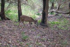 希洛大农场地方加利福尼亚-鹿 公园包括橡木森林地,混杂的常青树森林  库存图片