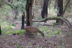 希洛大农场地方加利福尼亚-鹿 公园包括橡木森林地,混杂的常青树森林  图库摄影