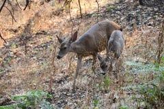 希洛大农场地方加利福尼亚-鹿 公园包括橡木森林地,混杂的常青树森林  免版税库存照片