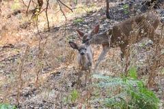 希洛大农场地方加利福尼亚-鹿 公园包括橡木森林地,混杂的常青树森林  免版税图库摄影