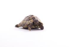 希腊土地草龟,陆龟Hermanni,白色演播室背景 免版税库存图片