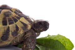 希腊土地草龟,陆龟Hermanni,白色演播室背景 免版税图库摄影