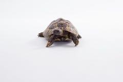 希腊土地草龟,陆龟Hermanni,白色演播室背景 库存图片