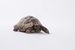 希腊土地草龟,陆龟Hermanni 库存图片