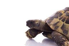 希腊土地草龟,陆龟Hermanni 免版税库存照片