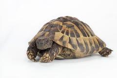 希腊土地草龟,陆龟Hermanni 免版税库存图片
