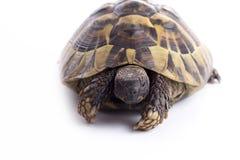 希腊土地turtoise,陆龟Hermanni,被隔绝 库存照片