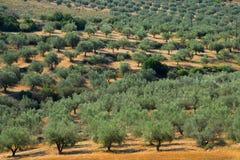 希腊橄榄树种植园结构树 免版税库存照片