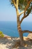 希腊橄榄色santorini结构树 免版税库存图片