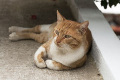 希腊猫 库存图片