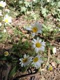 希腊的美丽的开花的雏菊 免版税库存照片
