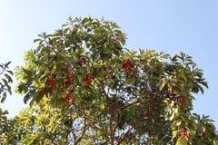 希腊草莓树用红色果子 免版税库存图片