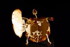 希腊草龟陆龟hermanni的骨骼 图库摄影
