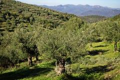 希腊,橄榄树小树林在多山Messinia 免版税库存照片