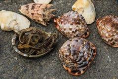 希腊-2017年11月:各种各样的五颜六色的海壳和海象 免版税图库摄影