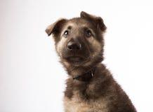 希洛牧羊人德国牧羊犬认为 免版税库存图片