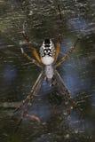 帐篷蜘蛛- Cyrtophora moluccensis 免版税库存照片