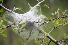 帐篷蠕虫巢 免版税图库摄影