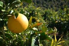 帕拉迪西葡萄柚有机的柑橘 免版税库存照片