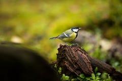 帕鲁斯少校 芬兰的野生生物 美好的照片 卡累利阿 从鸟生活 库存照片
