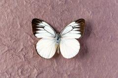 帝汶鸥白色蝴蝶 库存照片