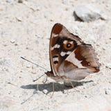 帝王紫蛱蝶蝴蝶(闪蛱蝶属虹膜)与翼关闭了 库存图片