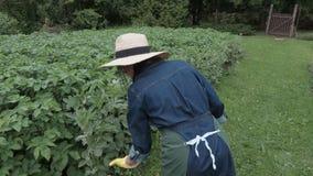 带来木箱和检查土豆植物的女性花匠 影视素材