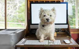 带来狗工作天-西部在书桌上的高地白色狗与 库存照片