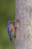 带来食物的东部蓝鸫给巢 图库摄影