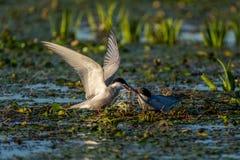 带来鱼的白的Cheeked燕鸥男性给一只母燕鸥在多瑙河 库存照片