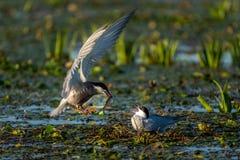 带来鱼的白的Cheeked燕鸥男性给一只母燕鸥在多瑙河 免版税库存图片