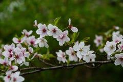 带淡红色的春天花在绿色背景中 图库摄影