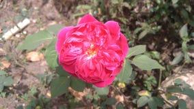 带淡红色的玫瑰色秀丽 库存图片