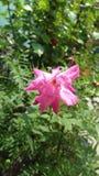 带淡红色的玫瑰 免版税库存图片