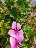 带淡红色的美丽的花amdist另一棵植物 免版税图库摄影