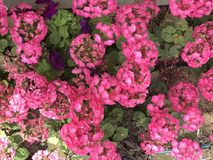 带淡红色的花 春天…上升了叶子,自然本底 令人敬畏的气候 免版税库存照片